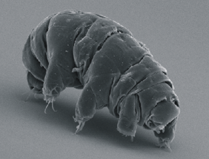 A tardigrade, aka a waterbear (Image taken from Wikipedia)